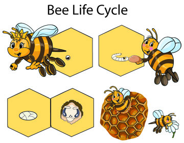 honey bees drones with Bees Crafts Activities Lessons Games And Printables on Honey Bee Anatomy furthermore Novembeard Inspiration moreover Sciencequestionsfrom5th Graders blogspot in addition Queen Cells Part 2 in addition Basic Honeybee Biology.