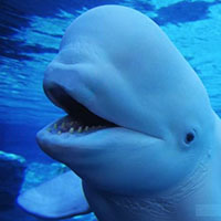 Bailey the Beluga Whale Facts and Pictures