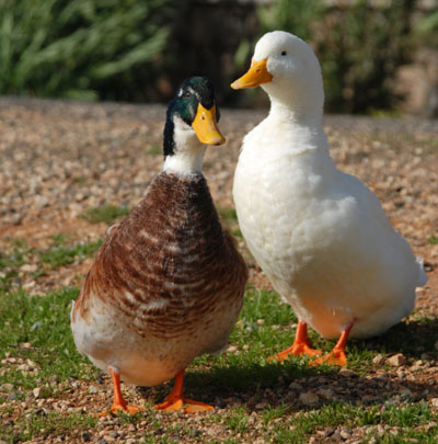 Male and female duck science activity preschool