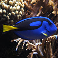 Dory Blue Tang Science Facts and Pictures for preschool