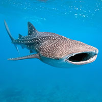 Destiny the Whale Shark Facts and Pictures