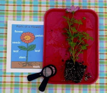 Parts of a Flower Science Exploration for Preschool and Kindergarten